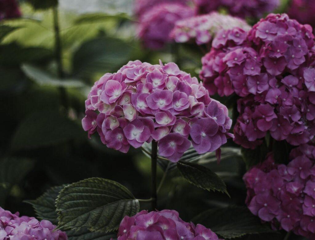 Tips para cuidar las hortensias y que luzcan siempre hermosas